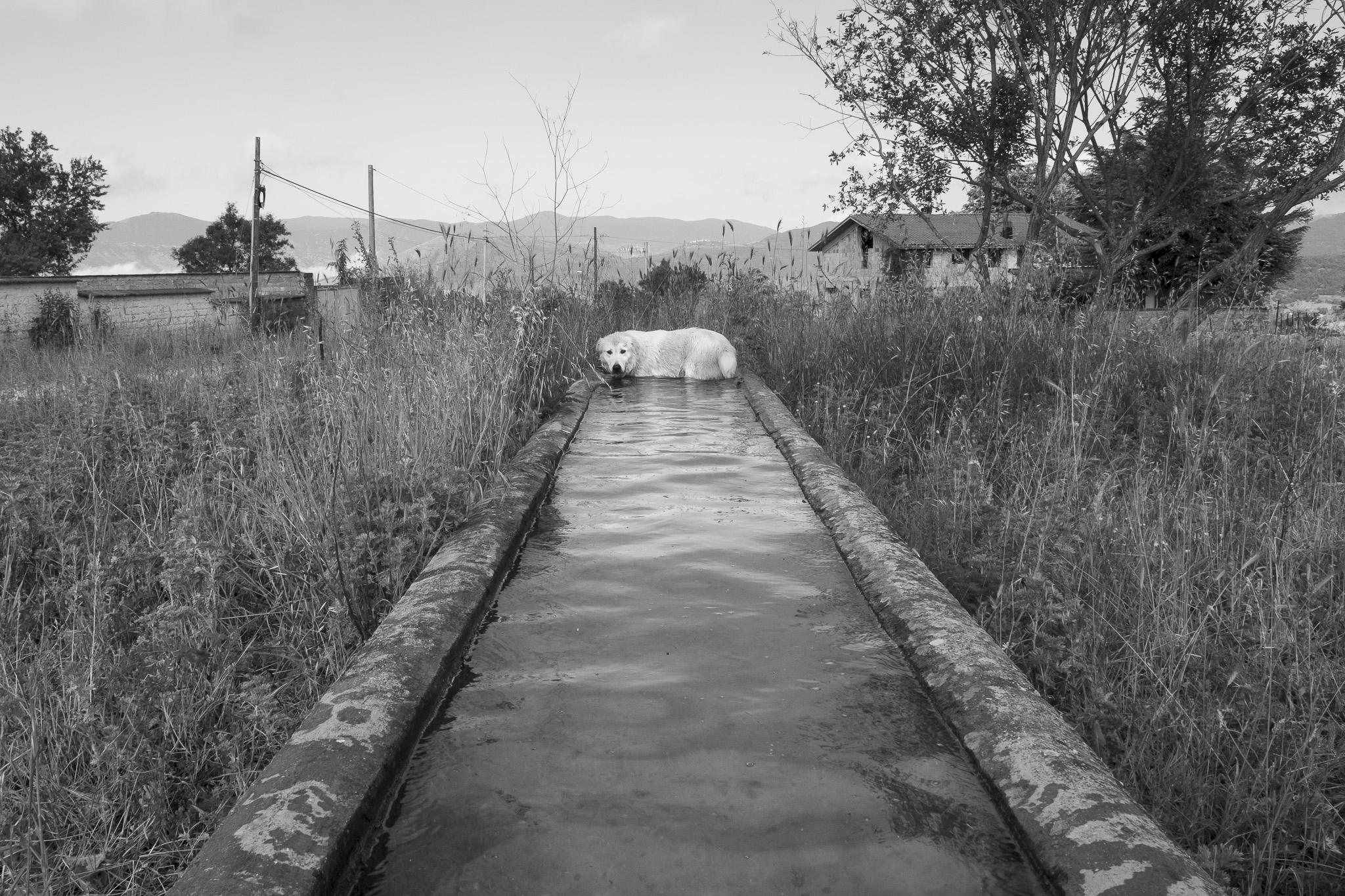 Cane pastore, Abruzzo, transumanza - Giulio Burroni