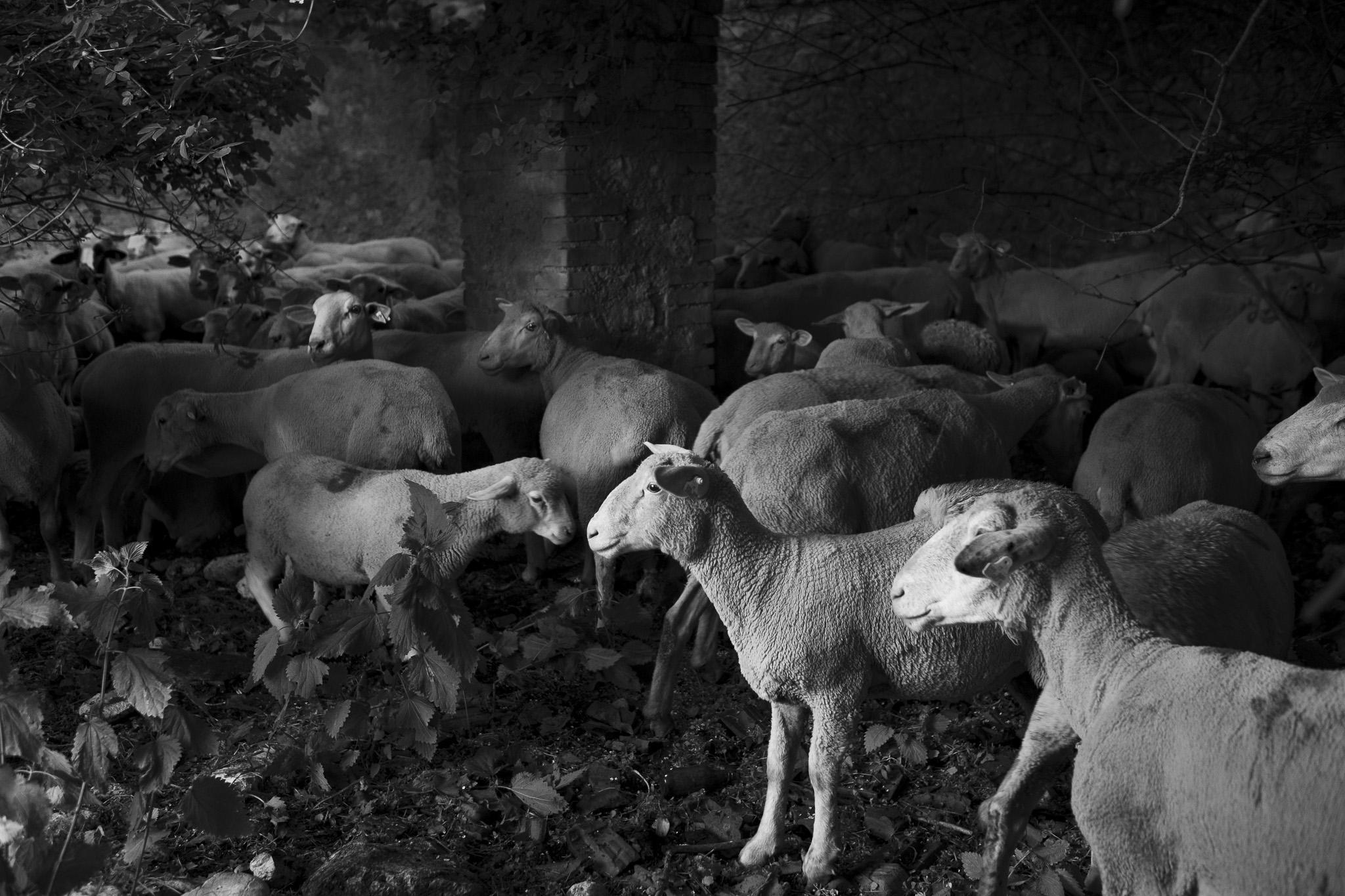 Stalle di Cartore, transumanza - Giulio Burroni