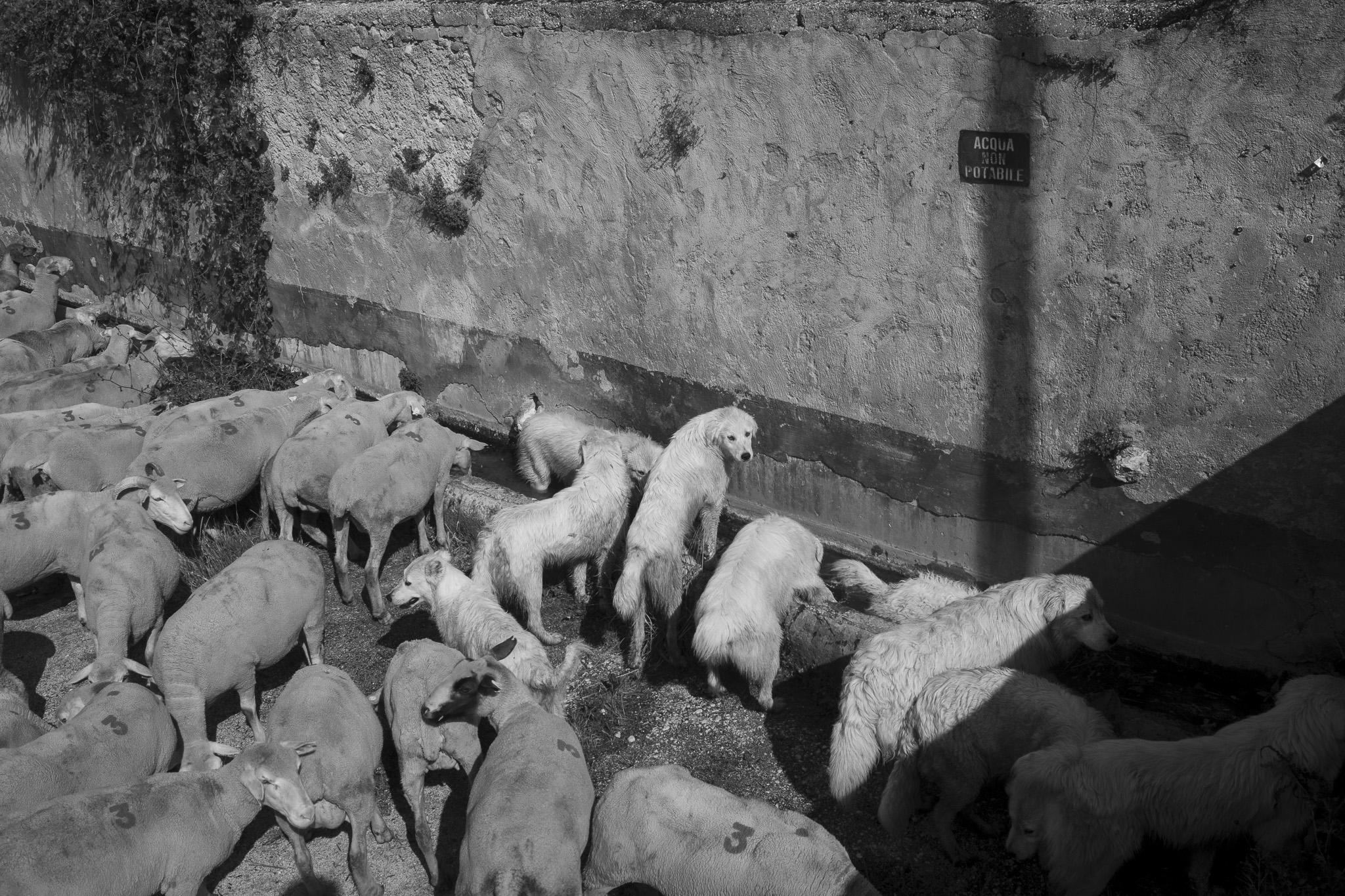 Cani pastore, transumanza - Giulio Burroni