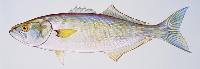 Pesce Serra - Pomatomus Saltatrix