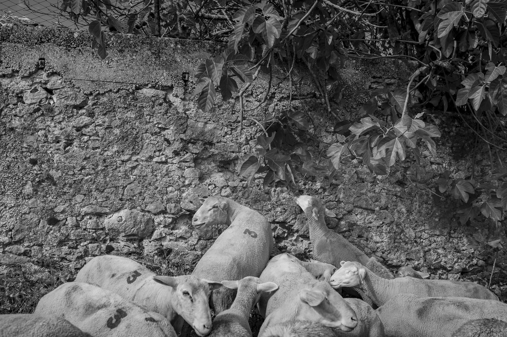 Pecore, transumanza - Giulio Burroni