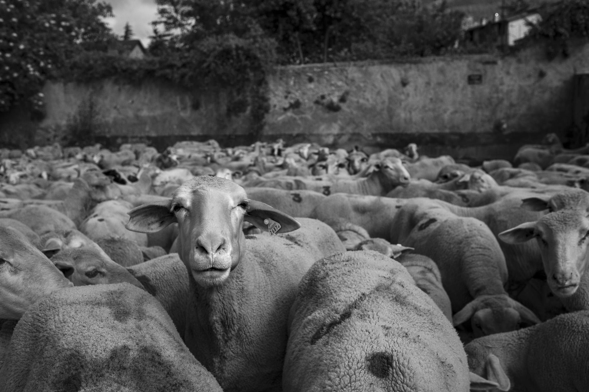 Pecore, Abruzzo, transumanza - Giulio Burroni