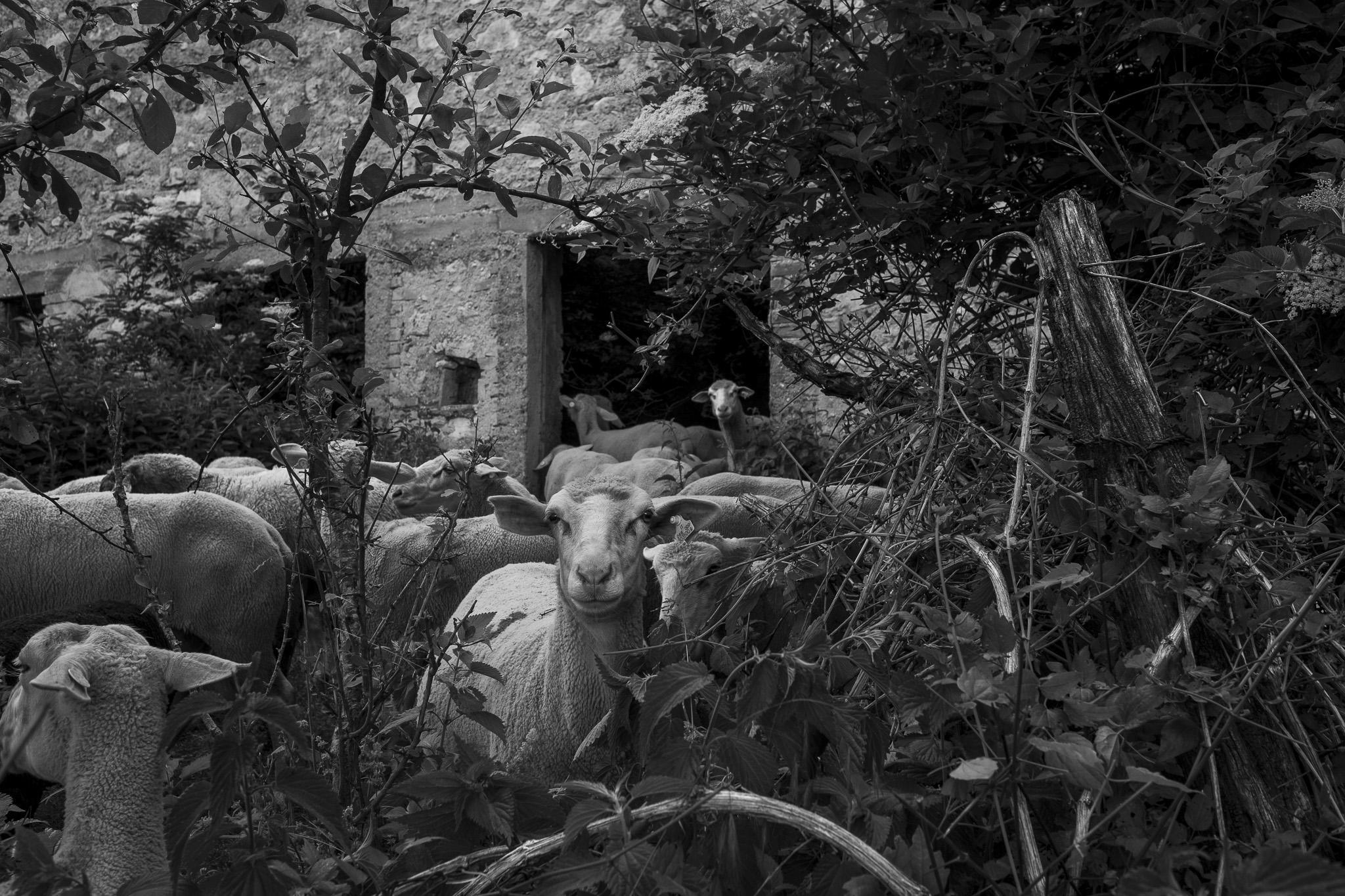 Vecchia stalla di Cartore, transumanza - Giulio Burroni