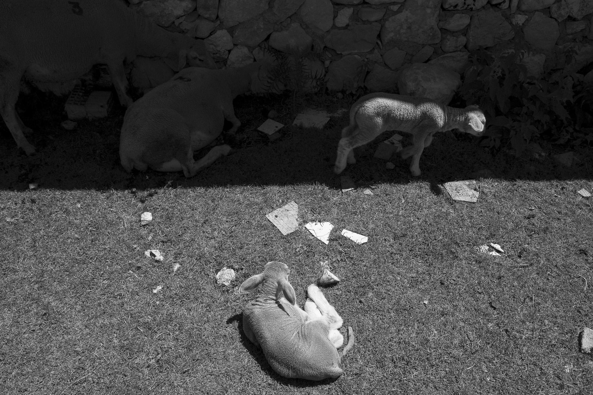 Agnelli, transumanza - Giulio Burroni
